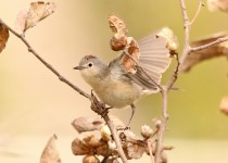 Lucys-Warbler-Page-Springs-3-24-12-5-200PI
