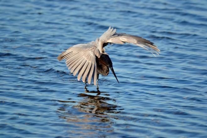 Merritt-Island-2014-Reddish-Egret-wings-outspread