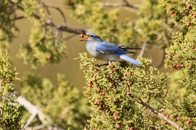 Mountain-Bluebird-Red-Tank-Draw-2-14-14-3-200PI