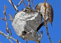 NOFLf-wasp-nest_9730