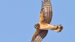 Northern Harrier ©2014 Jeff Crawn