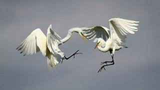POW-Egrets-Helfrich