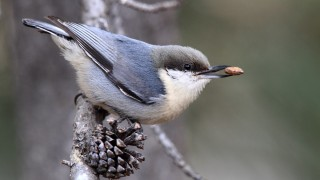 At least three-fourths of Pygmy Nuthatch's range may disappear by 2099, a new report says. Photo by Laure Wilson Neish
