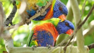 Rainbow-Lorikett
