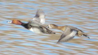 Redhead-duck-flight