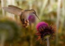 Rufous-Hummingbird-Springerville-8-9-09-2-200PI