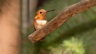 Rufous-Hummingbird-Yard-8-7-12-7-200PI