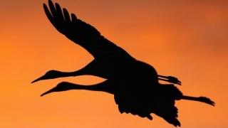 Sandhill Cranes_320x180