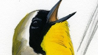 Sibley Common Yellowthroat_320x180