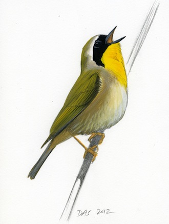 SIGHT AND SOUND: A male Common Yellowthroat displays its bright yellow throat and black cheeks to full effect when it sings. Art by David Allen Sibley.