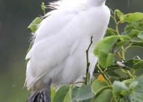 Snowy-Egret-Wakodahatchee-7-9-11-4-200PI