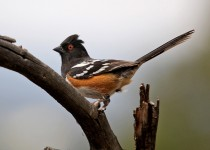 Spotted-Towhee-Elden-5-17-13-1-200PI