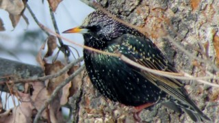 Starling-in-a-knot-hole