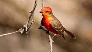 Vermilion-Flycatcher-Coon-Bluff-3-18-13-2-200PI