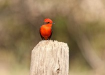 Vermilion-Flycatcher-Fort-Lowell-3-18-13-3-200PI