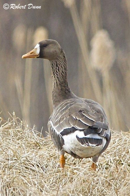 White-fronted-Goose