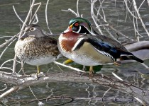 Wood-Duck-Lo-Lo-Mai-1-16-11-3-200PI