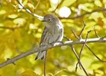 Yellow-Rumped-Warbler-Page-Springs-10-24-09-18a-200PI