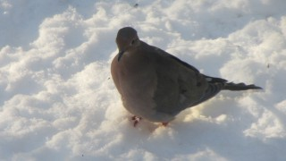 mourning-dove1