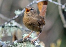 Pacific Wren near Crystal Springs Reservoir, San Mateo County, California, March 2014, by Susan Lofthouse.