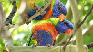 Rainbow Lorikeets ©2013 Sinclair Oldfield