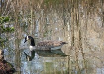 the-pond-goose-1