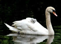 01-3-Swan-And-Cygnets