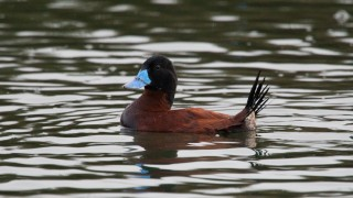 20140219-Ruddy-Duck-8763