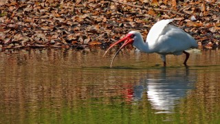 5825-Ibis-at-Club-at-Vero