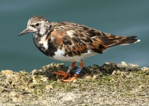 5Ruddy-Turnstone