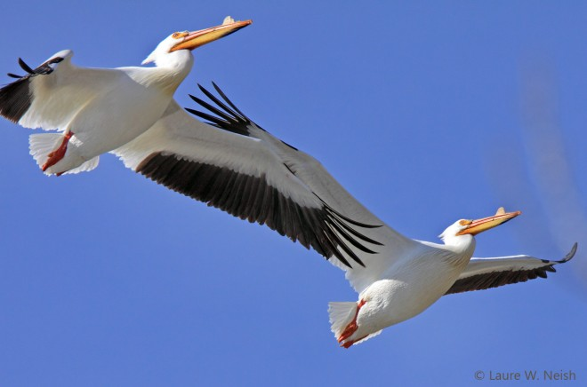 American White Pelicans near Penticton, British Columbia, by Laure Wilson Neish.