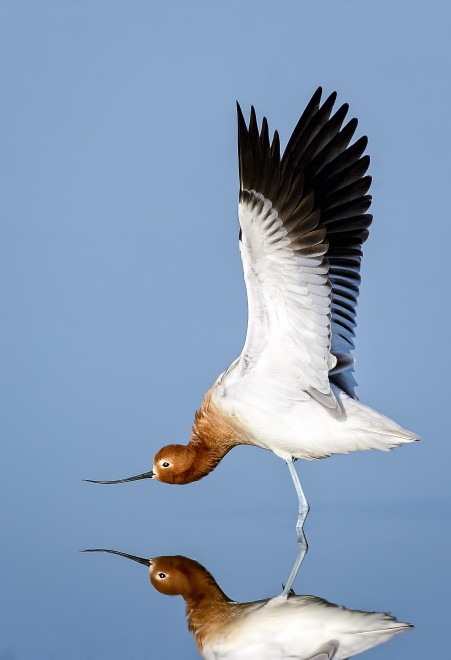 American-Avocet-Stretching-Bremer