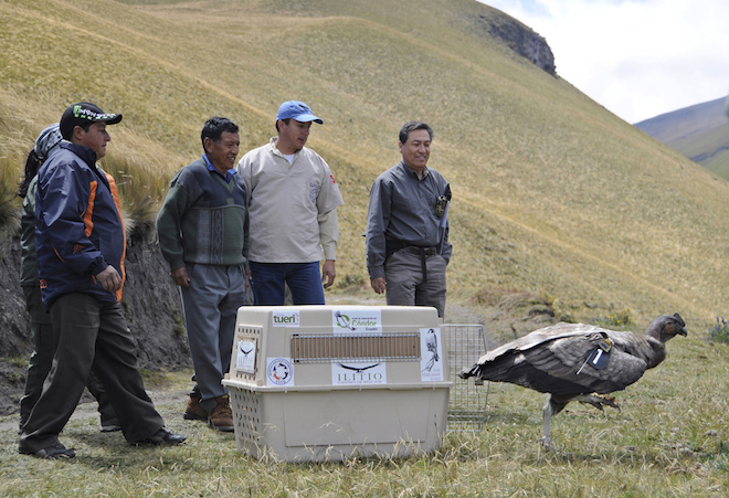 Andean Condor Felipe w-HVargas 2013.Andrea Barrionuevo-660