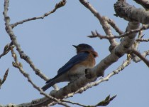 BLUEBIRD-perch.Canal-trail