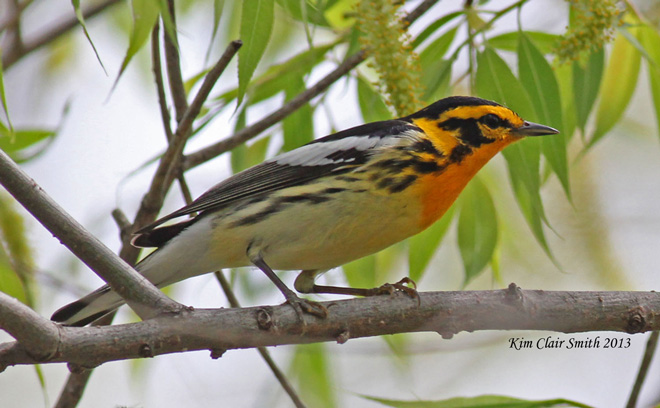 BWAB-Blackburnian-Warbler-at-Magee-Marsh-by-Kim-Smith-660