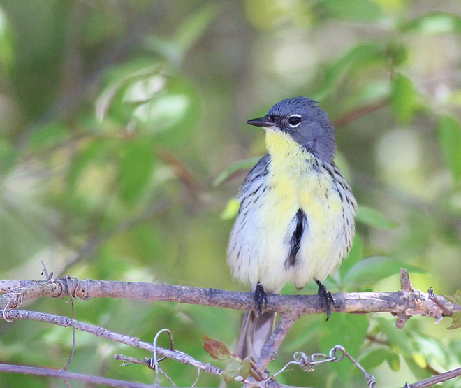 Kirtland's Warbler, photo by Kim Smith