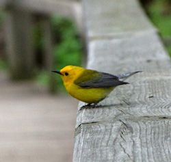 A Prothonotary Warbler perches on a railing along the Magee Marsh boardwalk. Photo by Dawn Simmons Fine