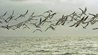 BlackSkimFlight6