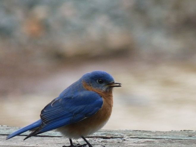 Blue-Bird-on-the-deck