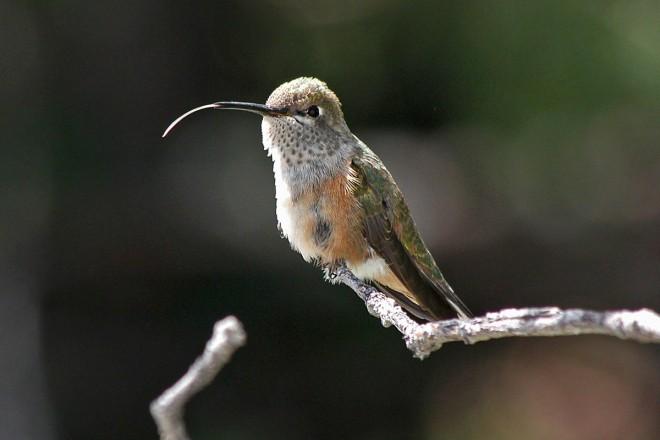 Broadtailed-Hummingbird-Elden-8-18-11-2-200PI