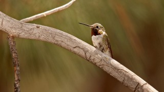 Broadtailed-Hummingbird-Yard-7-21-13-2-200PI