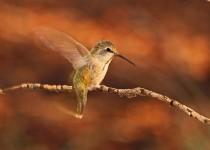 Broadtailed-Hummingbird-Yard-7-6-13-1-200PI