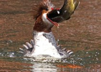 Common-Merganser-FISH-Cave-Springs-4-15-12-2-200PI