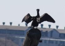 Crested-Cormorant-poser