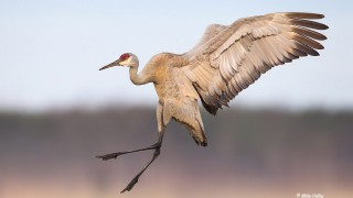 Sandhill Crane by Mike Veltri.