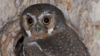 Elf-Owl-320