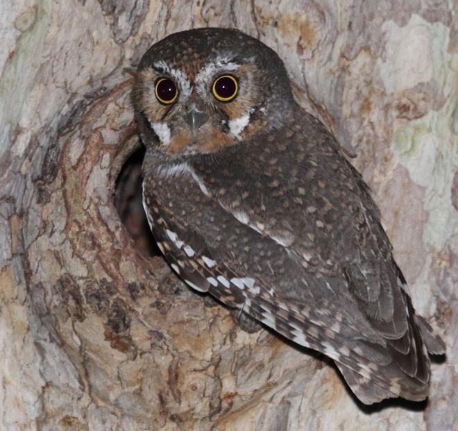 Elf-Owl-wikimedia-660