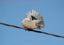 Eurasian-Collared-Dove-Szeszol-3-e-April-1-2013