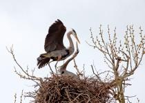 Great-Blue-Heron-David-Butel_Kansas-City__MG_1341
