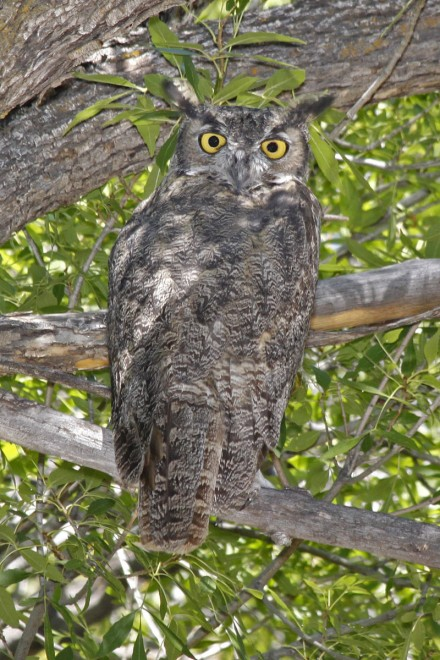 Great-Horned-Owl-Page-Springs-9-7-09-1-200PI
